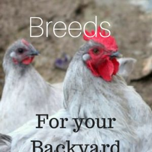 Top 3 Dual Purpose Chicken Breeds for Your Homestead
