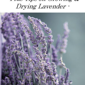 15 Useful Things to do with Lavender