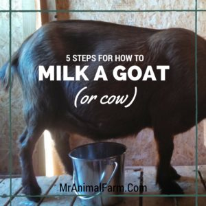 Handmilking Goats: 5 Top Tips To Learn How