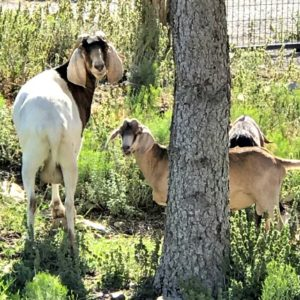 What I Wish We Had Known About Goats Before Getting Them