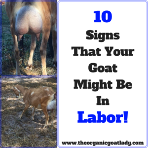 10 Signs That Your Goat Might Be In Labor