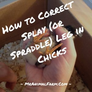Don't Let Splay Leg Ruin Your Baby Chicks Day!