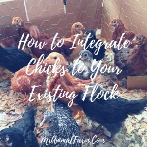 How To Safely Add New Chicks To Your Current Flock