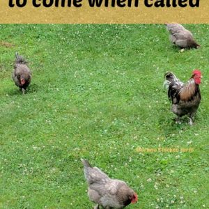 Train your chickens to come when called!