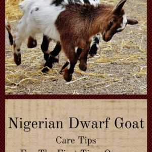 Nigerian Dwarf Goat Care Tips For The First Time Owner