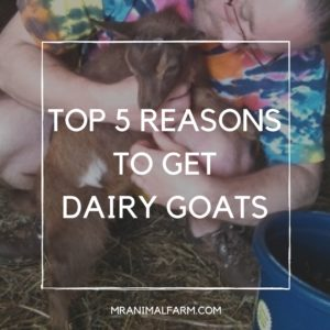 Dairy Goats: 5 Reasons You Need To Get Some!