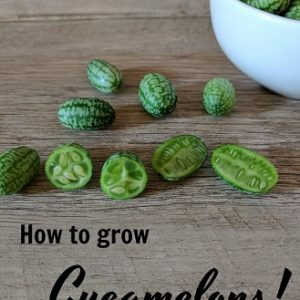 How to grow Cucamelons!