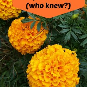 Marigolds: Grow your own pest spray
