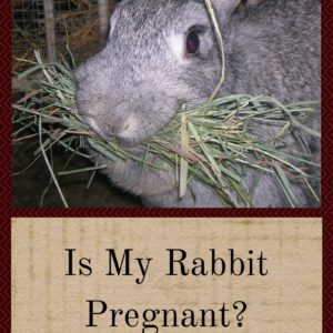 Is My Rabbit Pregnant? (And What To Do If She Is)