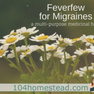 Feverfew for Migraines: A Multipurpose Medicinal Herb
