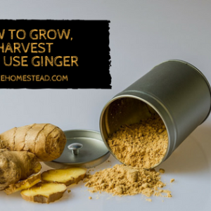 How to Grow, Harvest and Use Ginger
