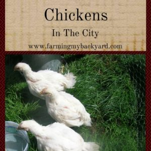 Pastured Meat Chickens In The City