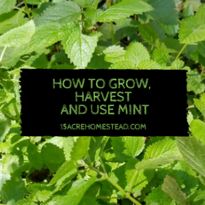 How to Grow, Harvest and Use Mint