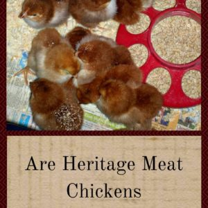 Are Heritage Meat Chickens The Best?