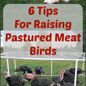 6 Tips For Raising Pastured Meat Birds