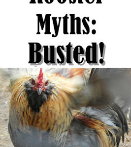 8 Rooster Myths: Busted!