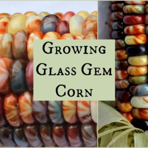 Growing Glass Gem Corn