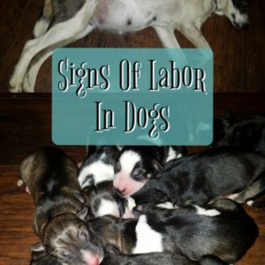 Signs Of Labor In Dogs