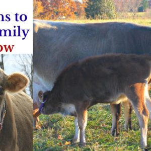 6 Reasons to Have a Family Milk Cow