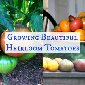 Growing Beautiful Heirloom Tomatoes