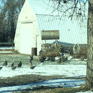 Why Ducks are a Valuable Addition to the Northern Homestead