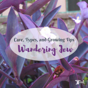 Growing Wandering Jew Plants: How To Care For Tradescantia