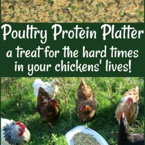 An Inexpensive Protein Treat for the Hard Times in Your Flock's Life!
