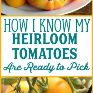 How to know when heirloom tomatoes are ready to harvest