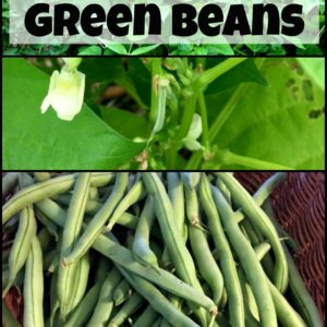 Easy to Grow Green Beans