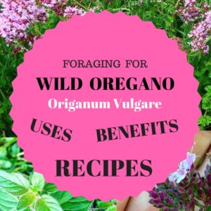 Foraging For Wild Oregano (Origanum Vulgare) – Benefits, Uses and Recipes