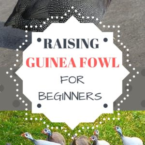 Raising Guinea Fowl For Beginners