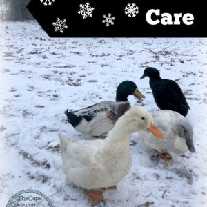 Winter Duck Care