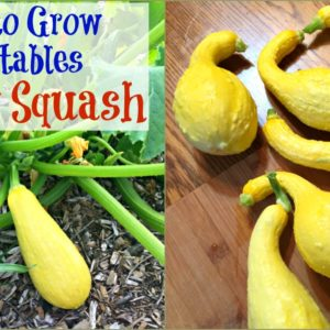Yellow Squash – An Easy to Grow Vegetable