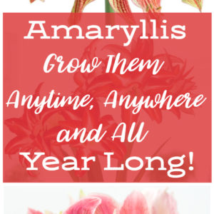 Amaryllis – Anytime, Anywhere!
