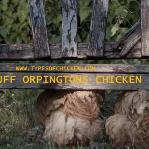 Pros & Cons of Keeping Buff Orpington Chickens