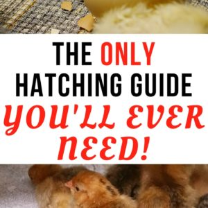 How to incubate and hatch eggs