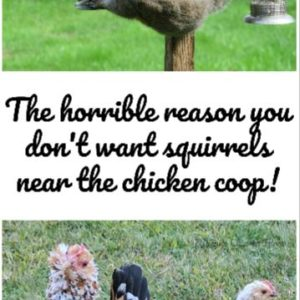 Why you don't want squirrels near your chickens (it's really gross!)