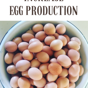 A SIMPLE GUIDE TO INCREASE EGG PRODUCTION