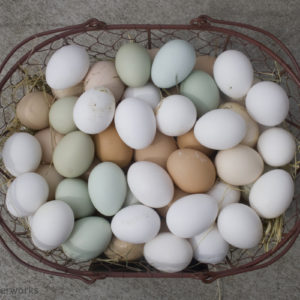 Chicken Breeds That Lay Easter Eggs