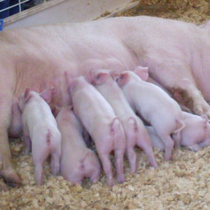 Breeds of Pigs to Consider for Your Farm