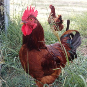 Five beginner questions about backyard chickens