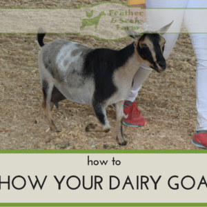 How to Show Your Dairy Goat