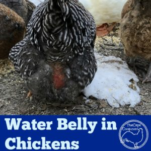 Water Belly in Chickens