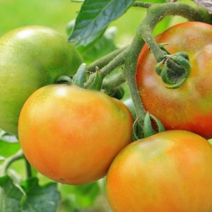 11 Common Mistakes Made when Growing Tomatoes