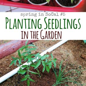 Planting Seedlings in the Garden