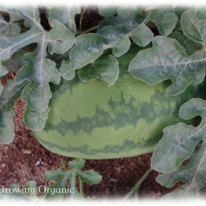 Growing & Harvesting Watermelon