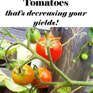 The Biggest LIE About Growing Tomatoes (That's Decreasing Your Yields)