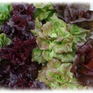 Growing Gourmet Lettuce
