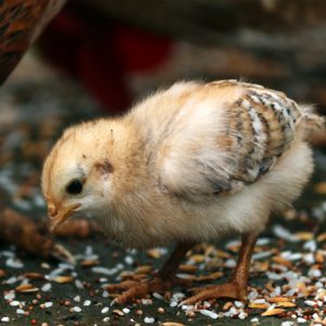 Nine Items You Need BEFORE You Buy Baby Chickens