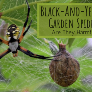 Garden Spiders – Are They Poisonous to Humans?